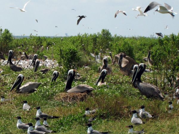Nesting Brown Pelicans in Louisiana