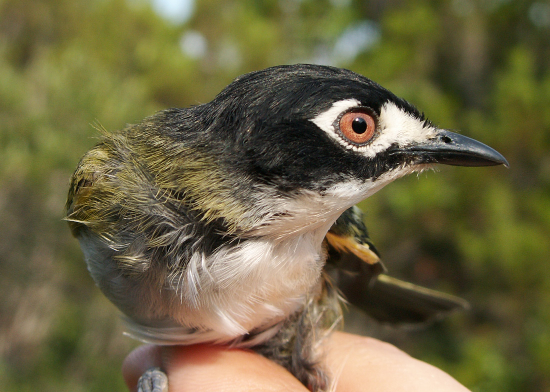 Black-capped Vireo in genetics study